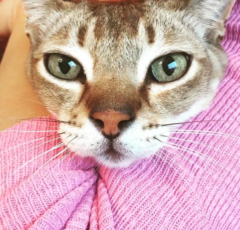 Singapura Katzen. Die kleinste Rassekatze der Welt