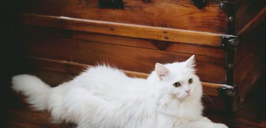 Maine Coone Katze – die sanften Giganten
