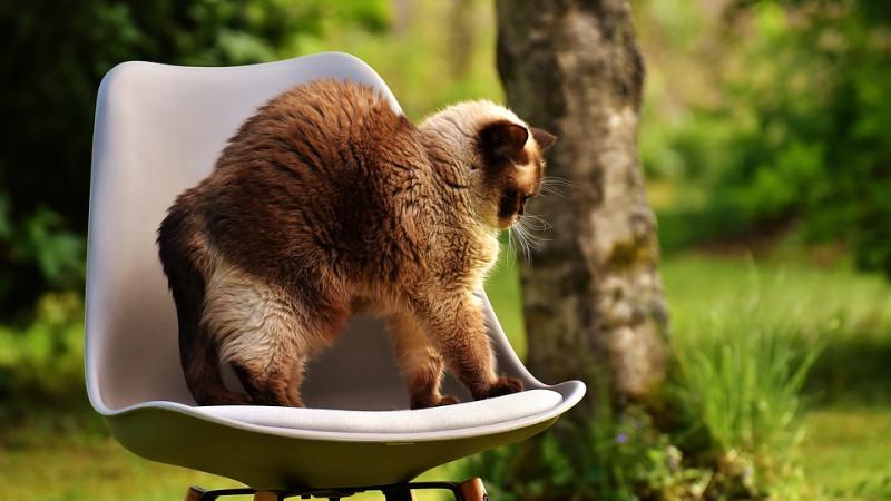 Warum machen Katzen einen Buckel?