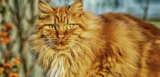 CBD Öl für Katzen – Dosierung und Anwendung